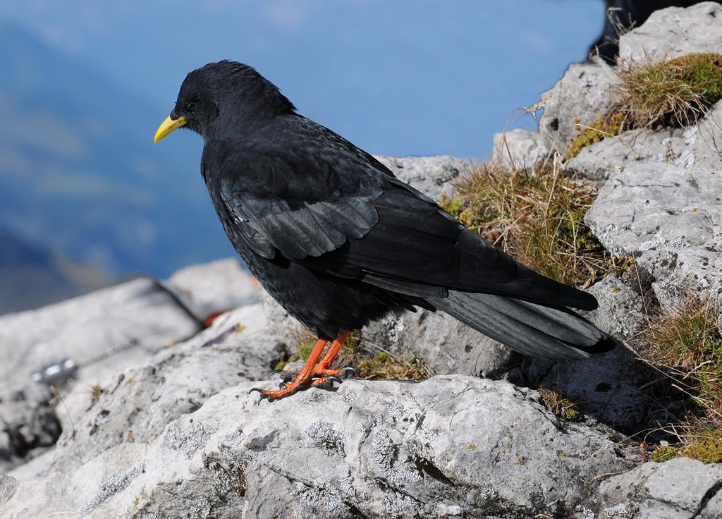 Un oiseau parmi les animaux savoyards : le chocard