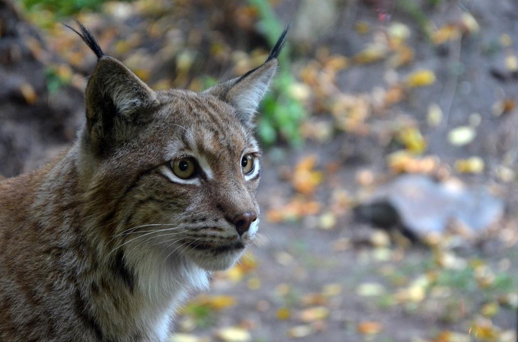 Lynx tourné vers l'objectif