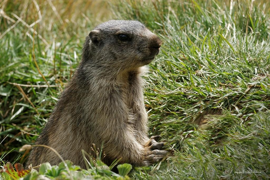 Marmotte sortant de son terrier