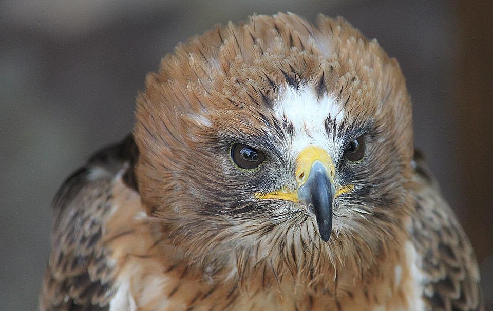 L'aigle botté est un oiseau migrateur qui passe par l'Auvergne