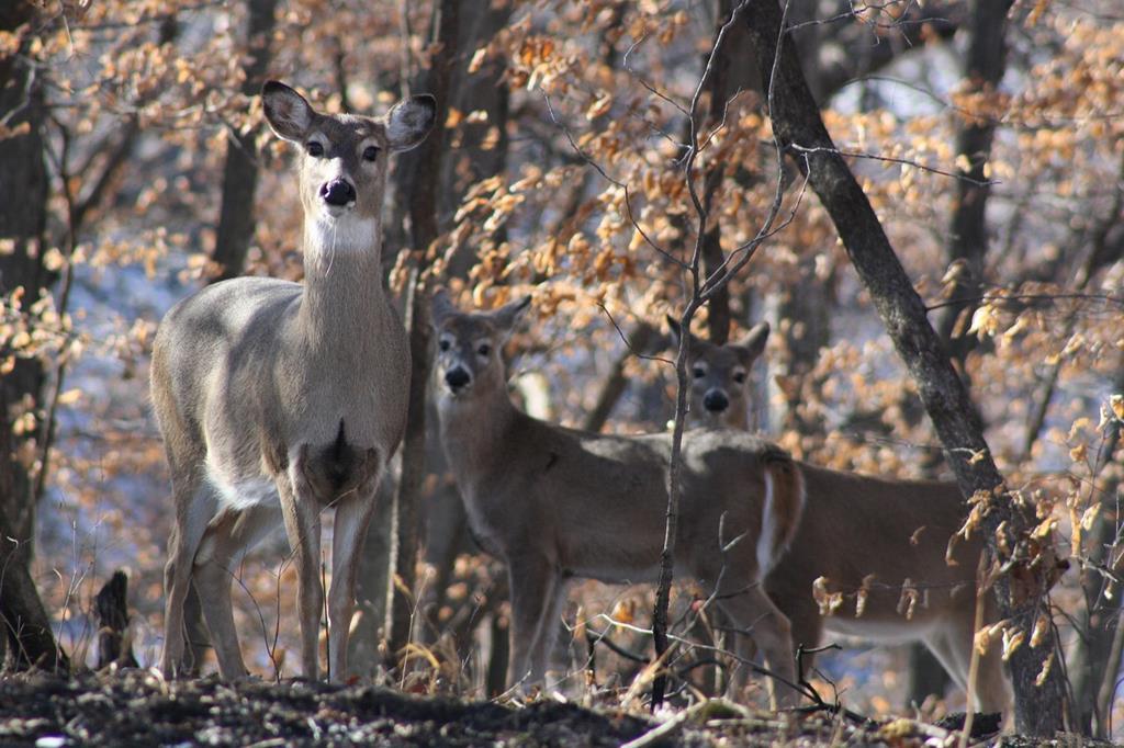 Découvrez comment les cerfs et les biches se sont intégré dans la faune d'Auvergne
