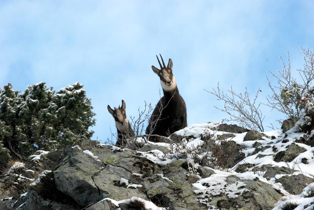 Les chamois emblématique des Savoies