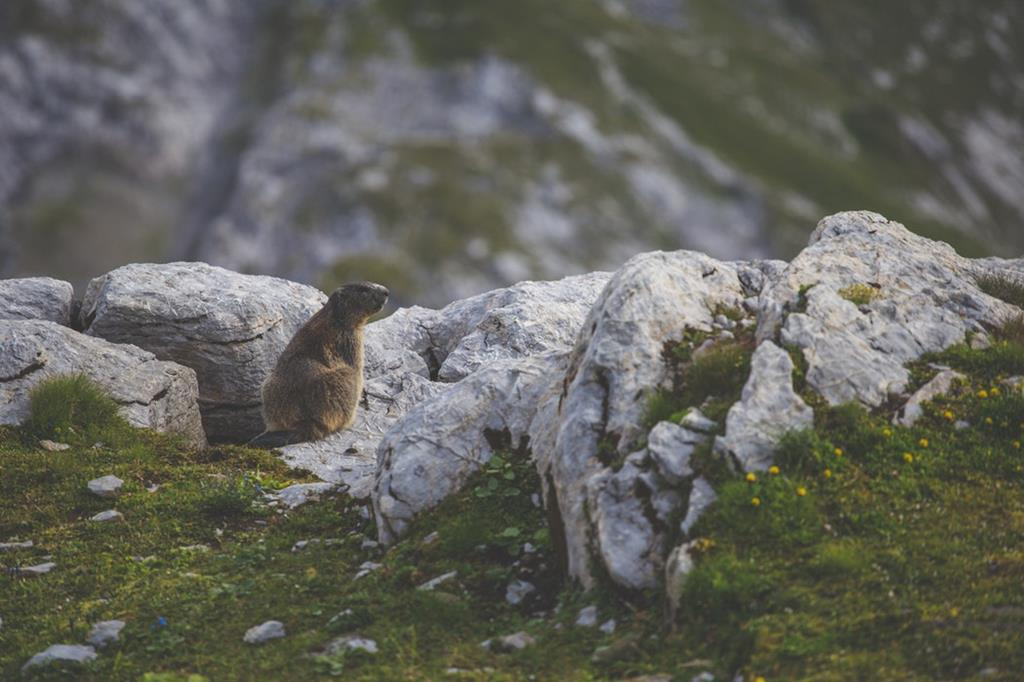 Le cri et les terriers des marmottes sont uniques