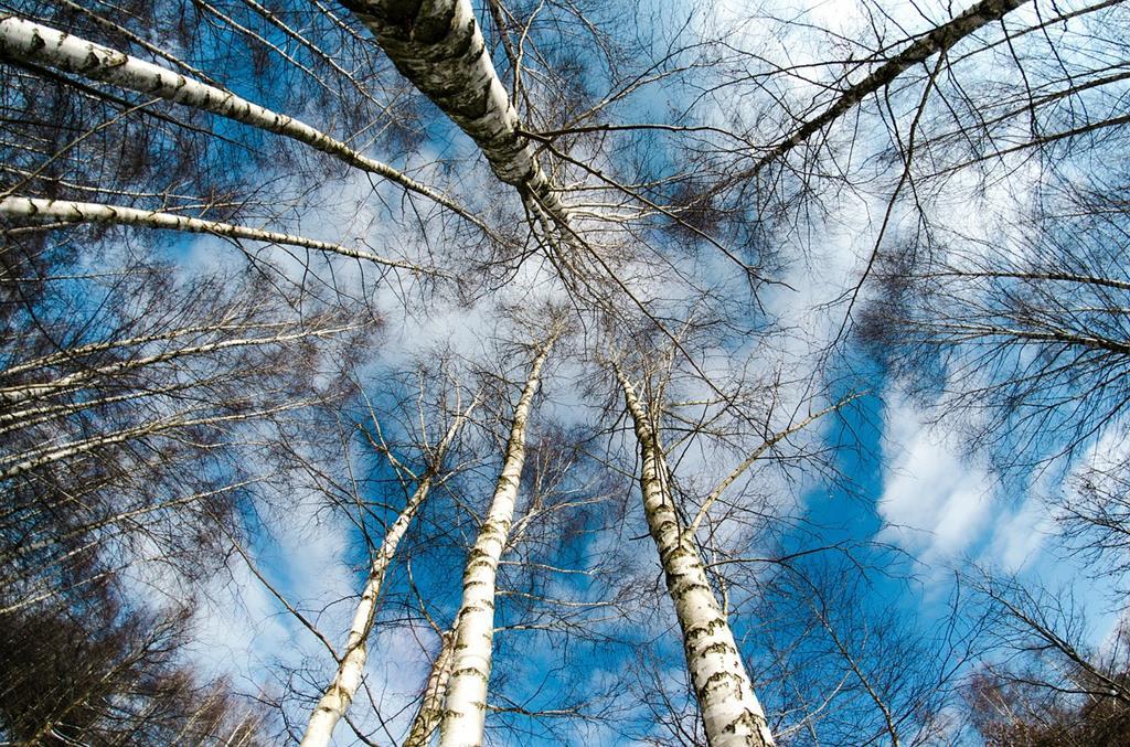 Le bouleau est un arbre des montagnes de Haute-Savoie